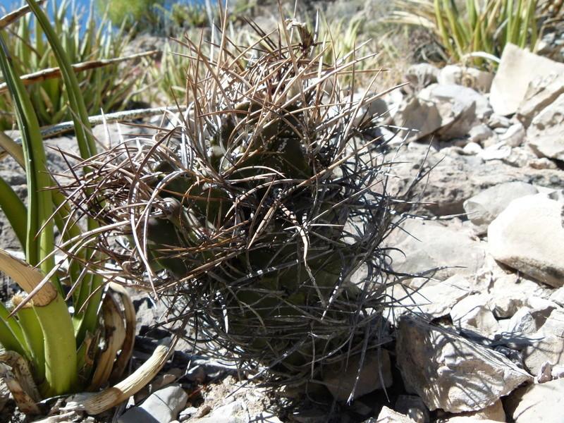 Astrophytum capricorne var. crassispinum P1060113