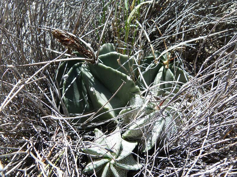 Astrophytum capricorne var. niveum f. nudum P1060217