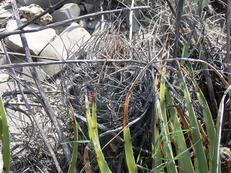 Astrophytum capricorne subsp. sanjuanense P1060220