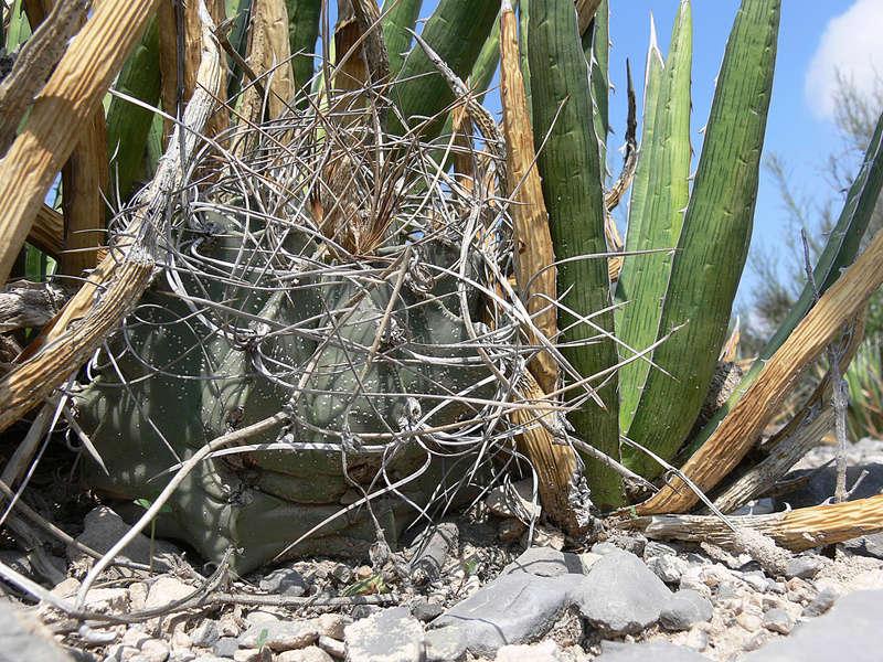 Astrophytum capricorne subsp. sanjuanense P1060223