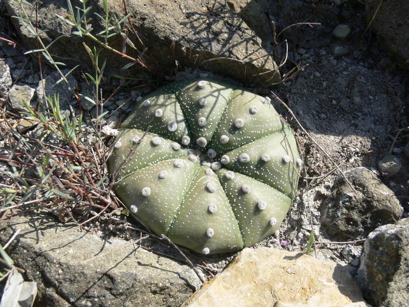 Astrophytum asterias P1060310