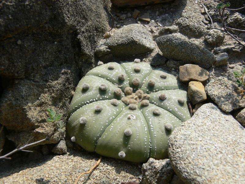 Astrophytum asterias P1060312
