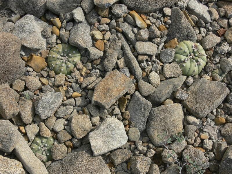 Astrophytum asterias P1060313