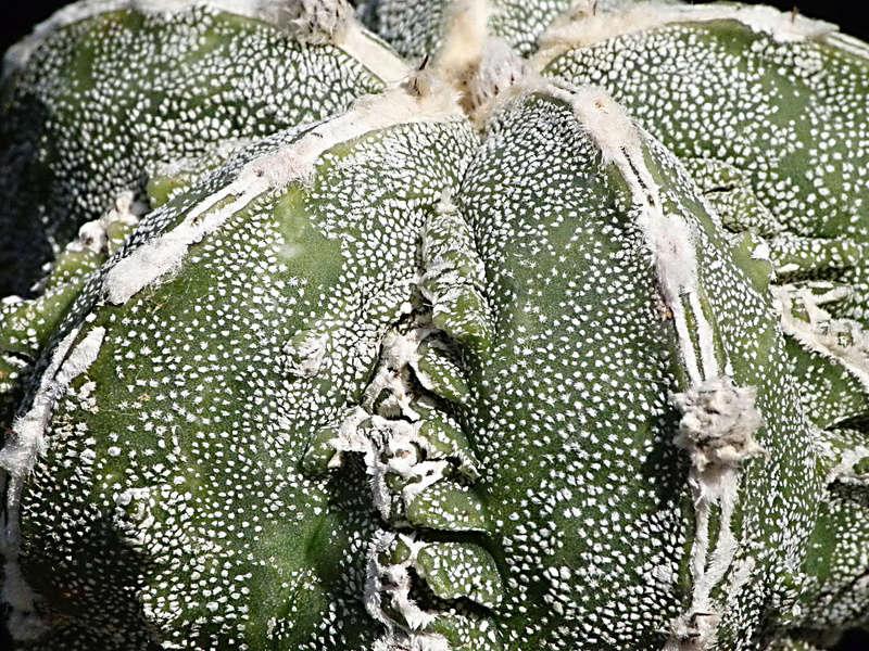 Cultivar Astrophytum myriostigma cv. Fukuryu P1060710
