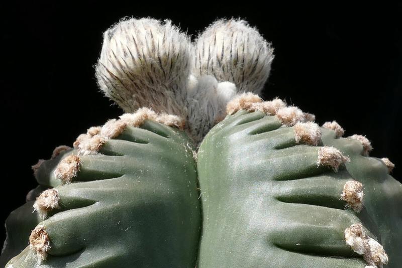 Cultivar Astrophytum myriostigma cv. KIKKO nudum P1070610