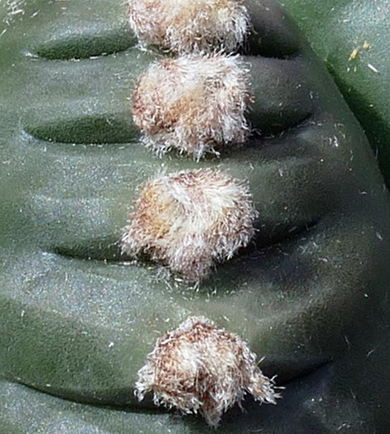 Cultivar Astrophytum myriostigma cv. KIKKO nudum P1070611