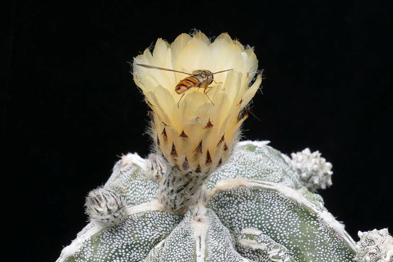 Cultivar Astrophytum myriostigma cv. Fukuryu P1070616