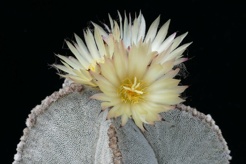 Astrophytum myriostigma subsp. tulense P1070710