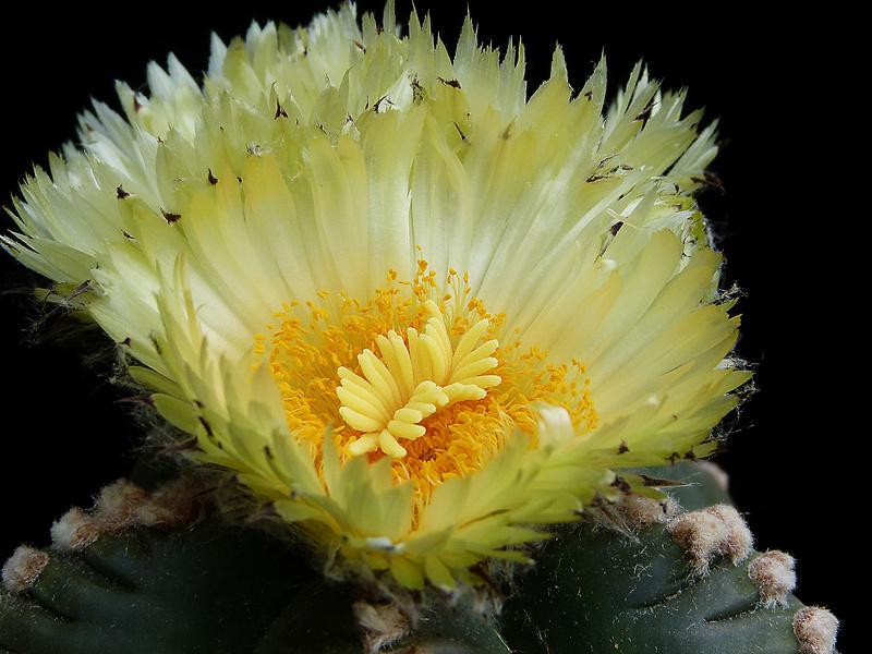 Cultivar Astrophytum myriostigma cv. KIKKO nudum P1070712