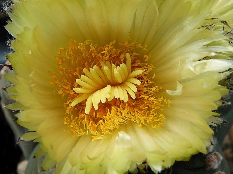 Cultivar Astrophytum myriostigma cv. KIKKO nudum P1070714