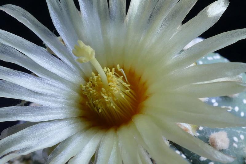 Astrophytum asterias P1070910