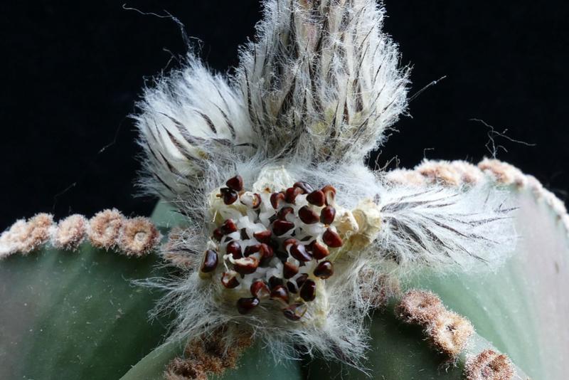 Astrophytum myriostigma var. nudum P1070911