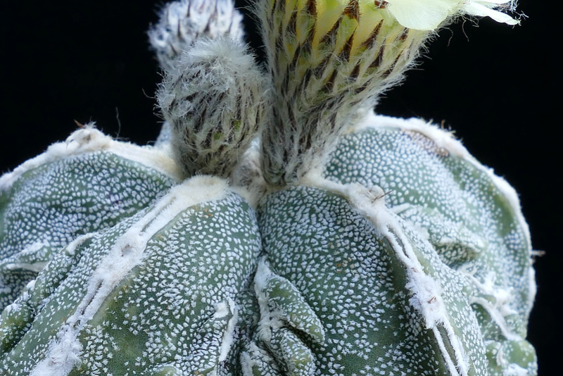 Cultivar Astrophytum myriostigma cv. Fukuryu P1070916