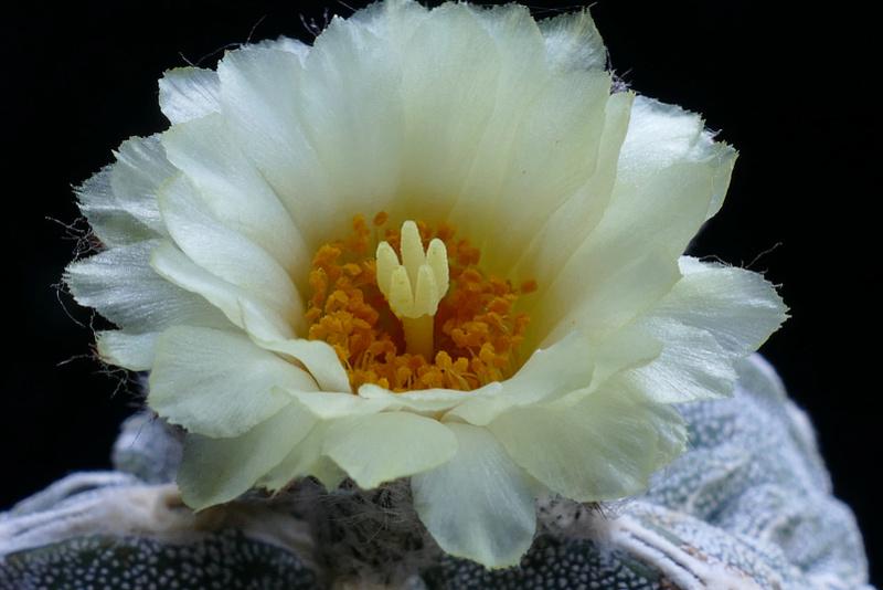 Cultivar Astrophytum myriostigma cv. Fukuryu P1070917