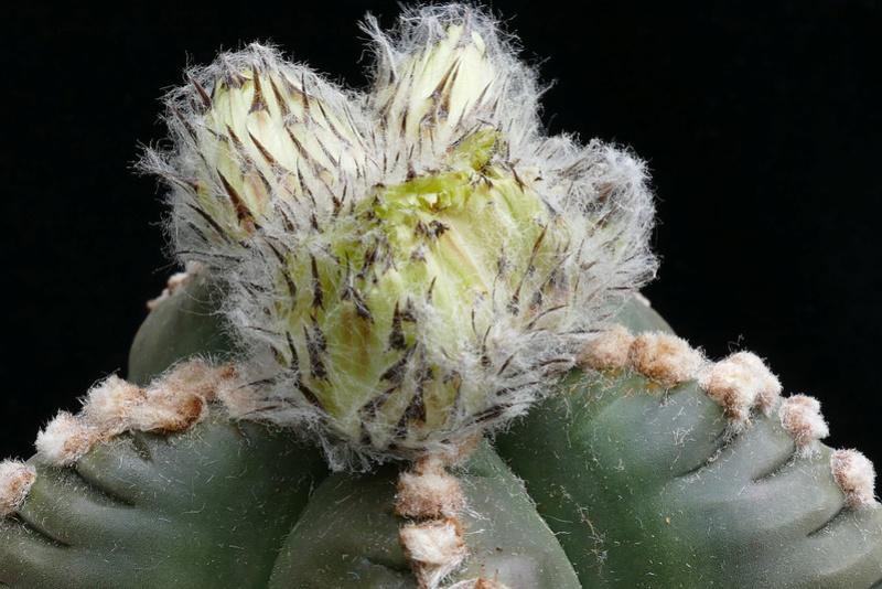 Cultivar Astrophytum myriostigma cv. KIKKO nudum P1110711