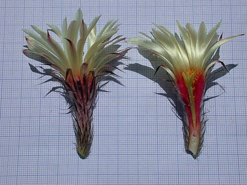 Astrophytum capricorne var. aureum Seaupa10