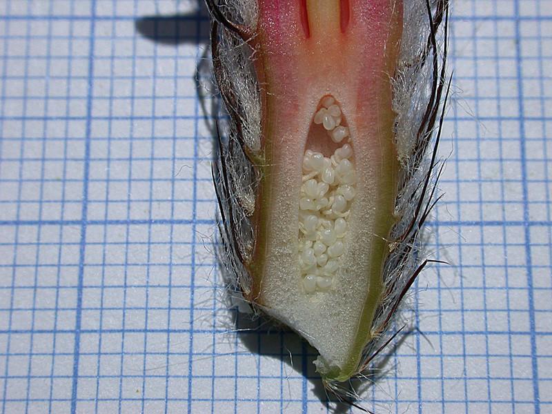 Astrophytum capricorne var. aureum Seaupa11