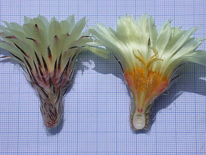 Astrophytum capricorne var. aureum Seauqs10