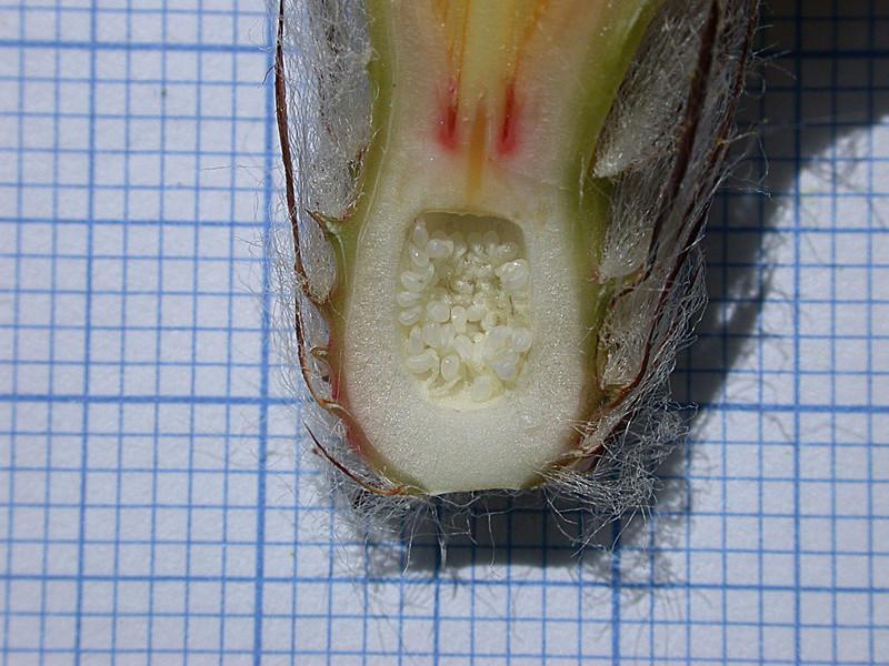 Astrophytum capricorne var. aureum Seauqs11