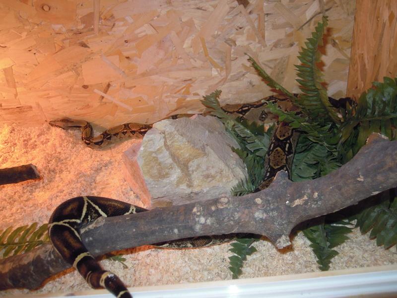 Mes serpents  Dscn3511