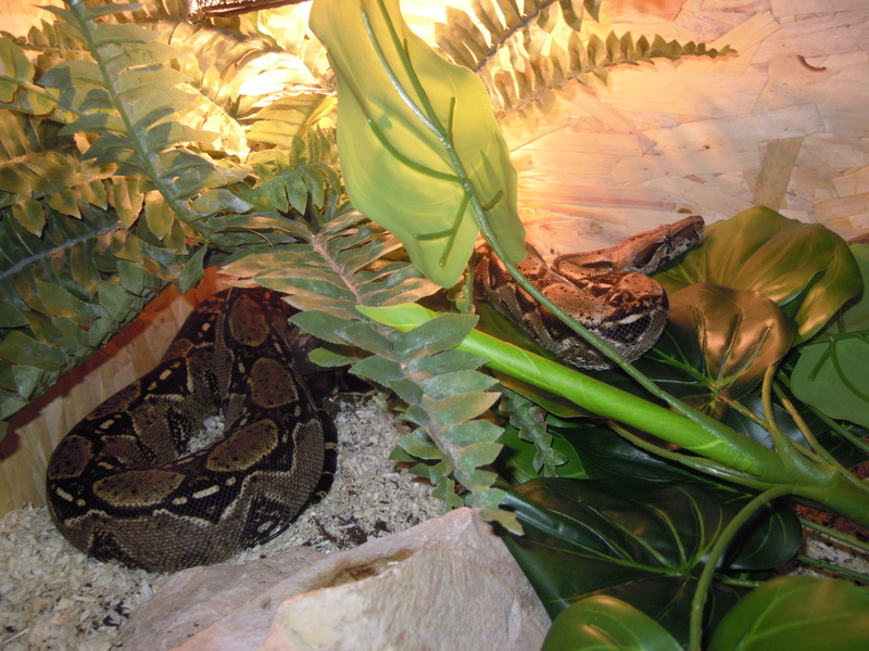 Mes serpents  Dscn3516