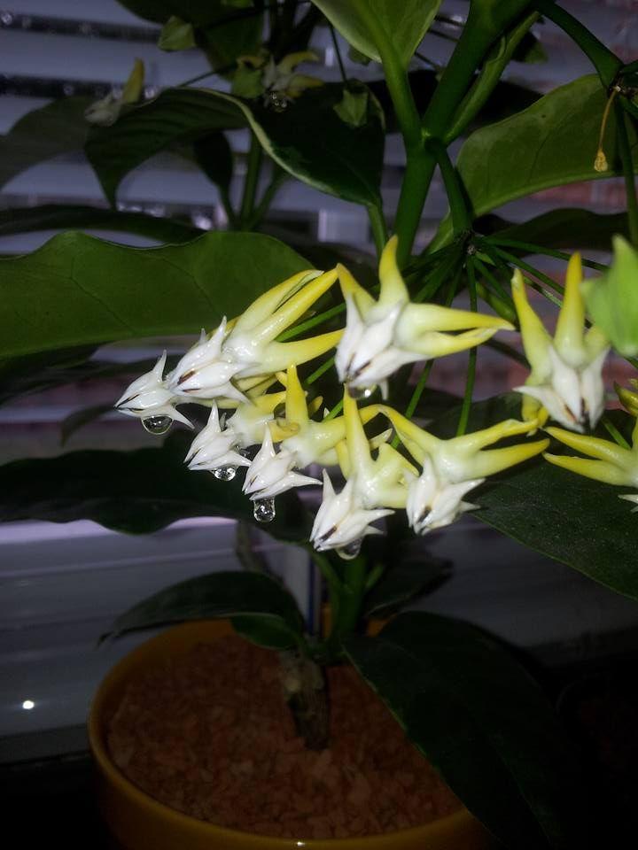 Hoyapflanzen von Petra L. 13606810