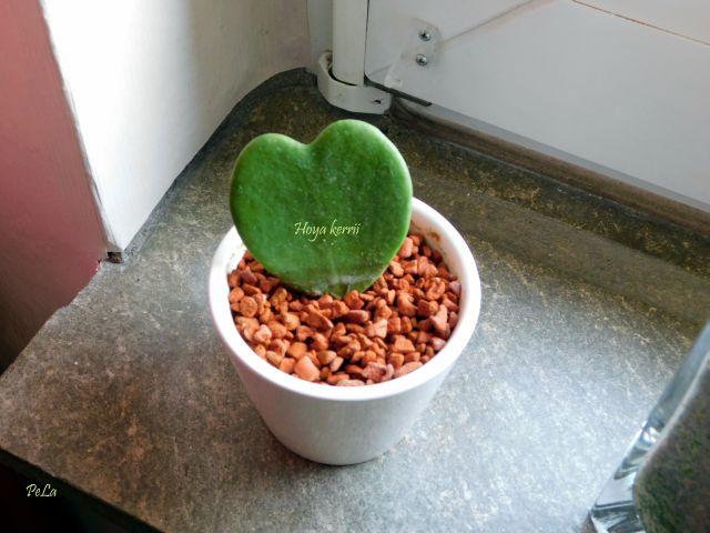 Hoyapflanzen von Petra L. Dscn0110
