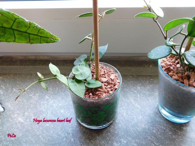 Hoyapflanzen von Petra L. Dscn0117