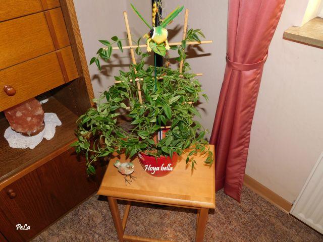 Hoyapflanzen von Petra L. Dscn0134