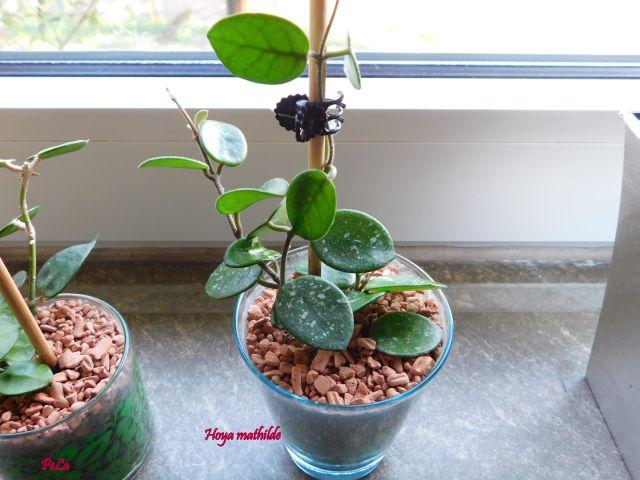 Hoyapflanzen von Petra L. Dscn0135