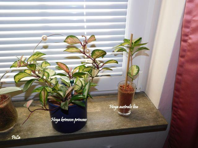 Hoyapflanzen von Petra L. Dscn0136