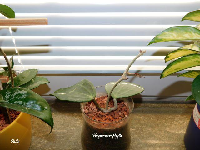 Hoyapflanzen von Petra L. Dscn0137