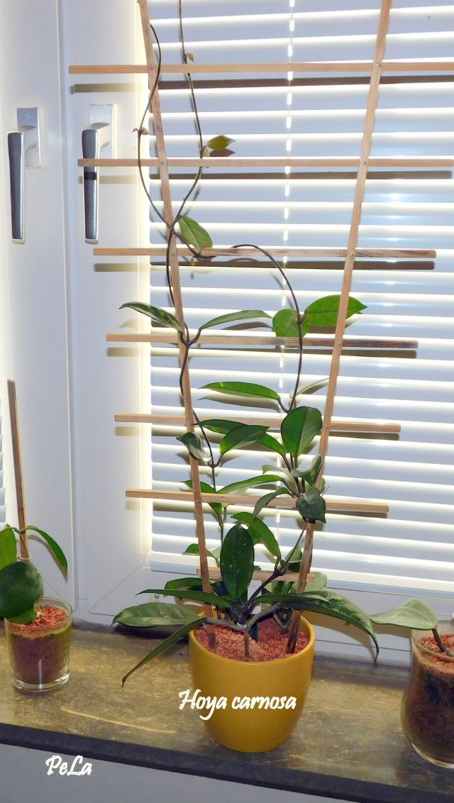 Hoyapflanzen von Petra L. Dscn0140