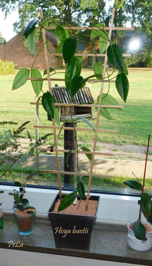 Hoyapflanzen von Petra L. Dscn0143