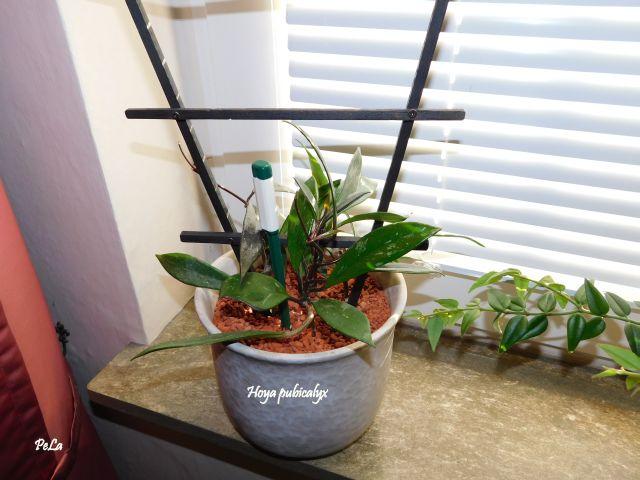 Hoyapflanzen von Petra L. Dscn0145