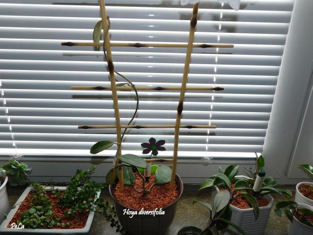 Hoyapflanzen von Petra L. Dscn0149