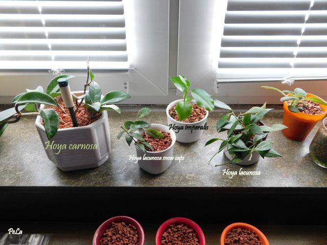 Hoyapflanzen von Petra L. Dscn0150