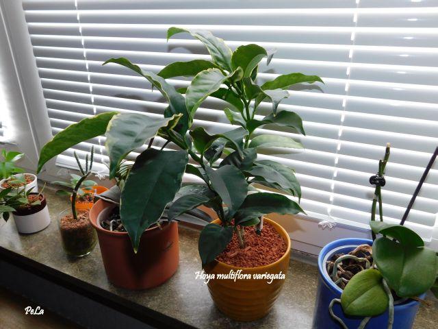 Hoyapflanzen von Petra L. Dscn0151