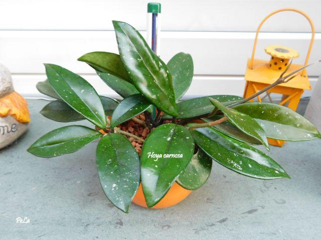 Hoyapflanzen von Petra L. Dscn0152