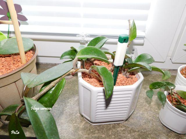 Hoyapflanzen von Petra L. Dscn0154