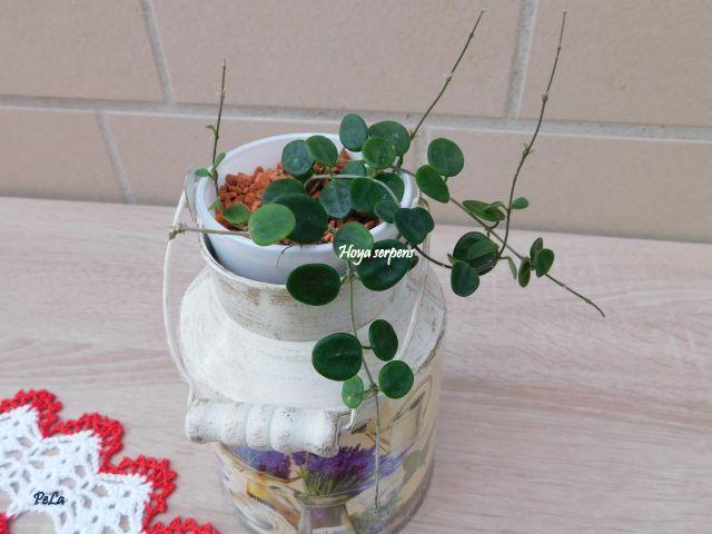 Hoyapflanzen von Petra L. Dscn0155