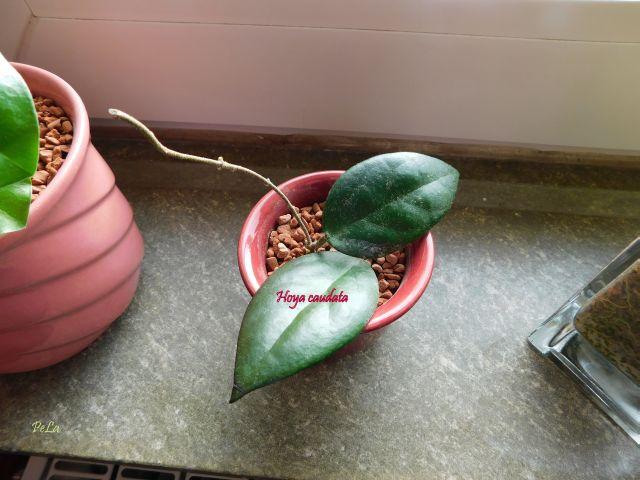 Hoyapflanzen von Petra L. Dscn0211