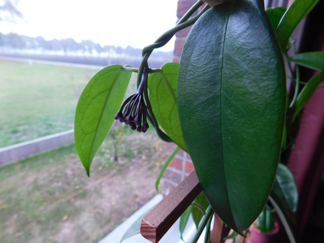 Hoyapflanzen von Petra L. Dscn0212