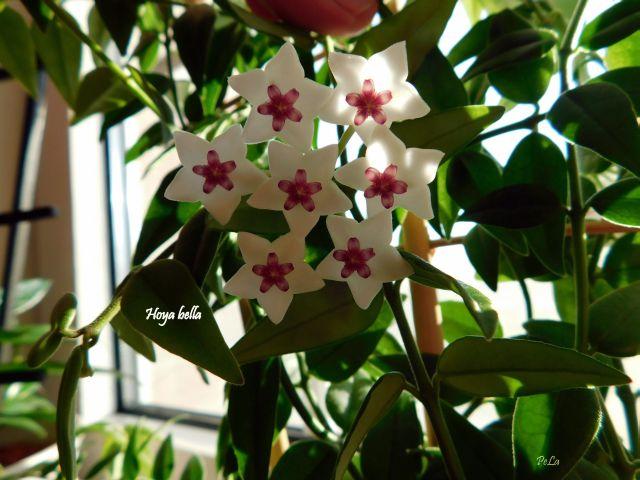 Hoyapflanzen von Petra L. H_bell10