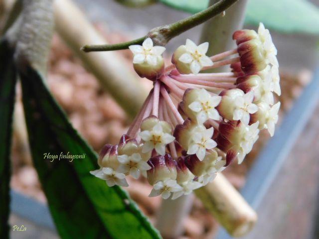 Hoyapflanzen von Petra L. Klein10