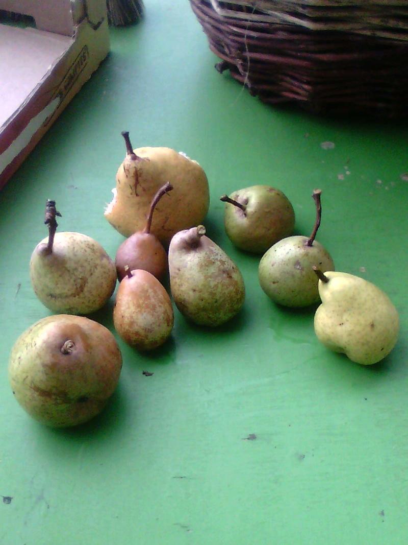 Récolte des pommes et poires Img12610