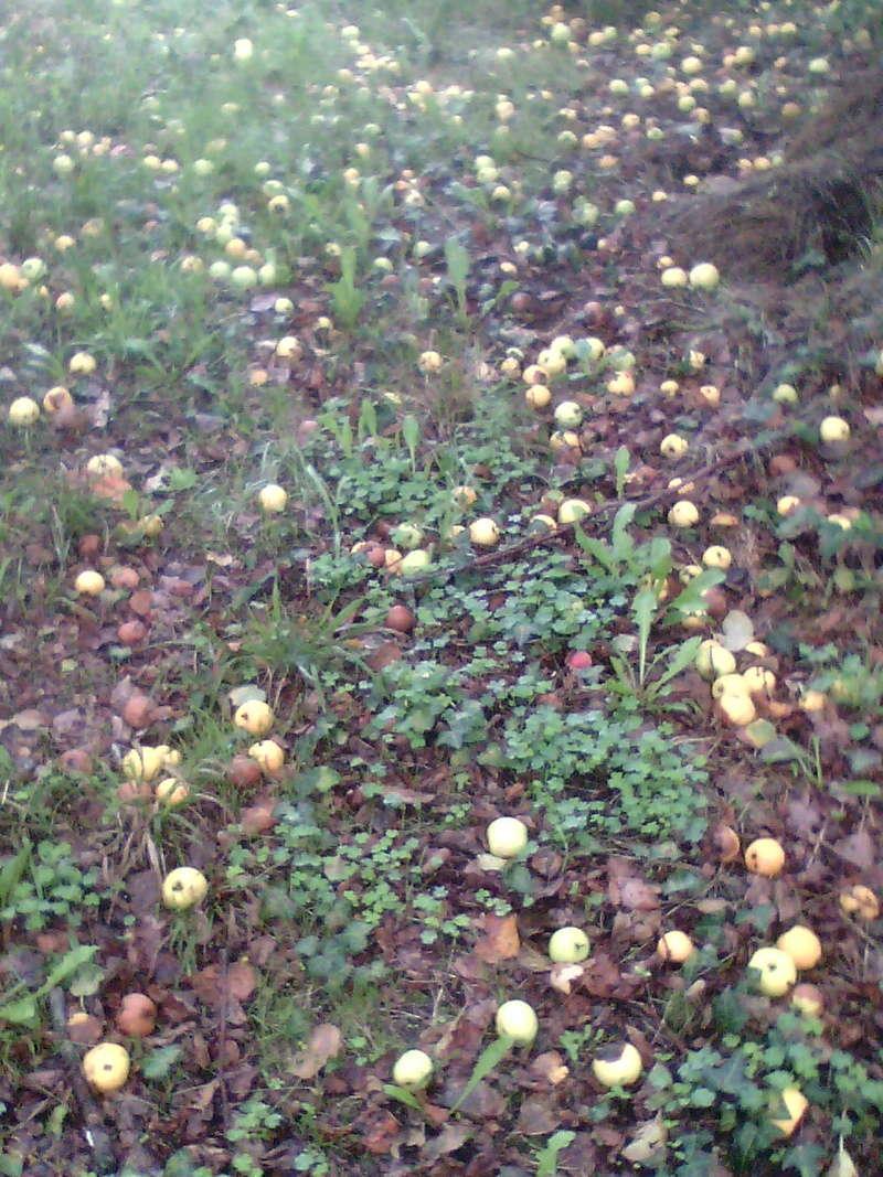 Récolte des pommes et poires Img12611