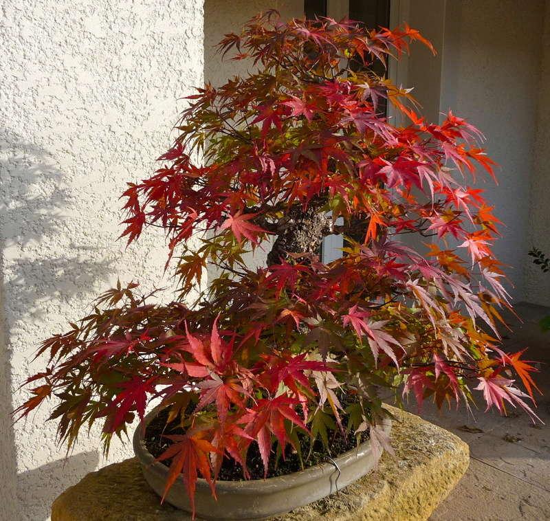 Printemps bonsaï P1070814