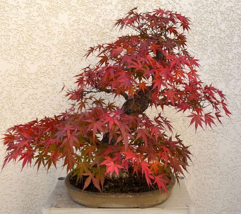 Printemps bonsaï - Page 2 P1070817