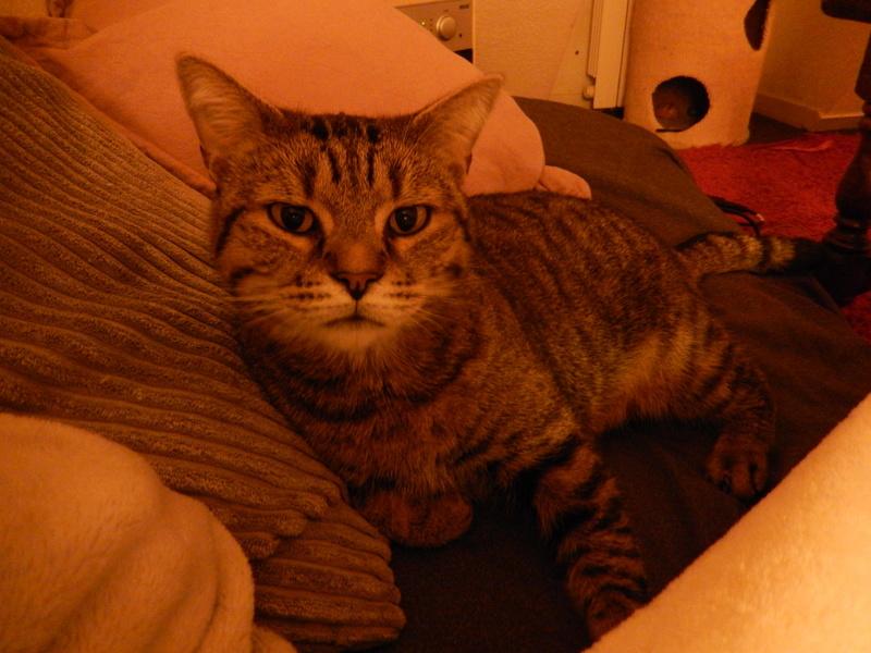 Zigual, mâle européen tigré né le 01/06/2012 Dscn8611
